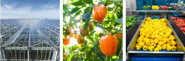harvest house teelt paprika's duurzaam verpakken